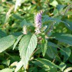Kvapioji aniužė – garsiausia Lietuvos žolė