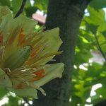 Grikiapelėje pražydo medžių karalius tulpmedis