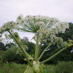 Ar invazinius augalus būtina išnaikinti?