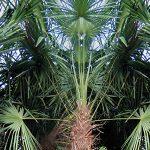 Žaliuojančios palmės Lietuvoje – ir žiemą