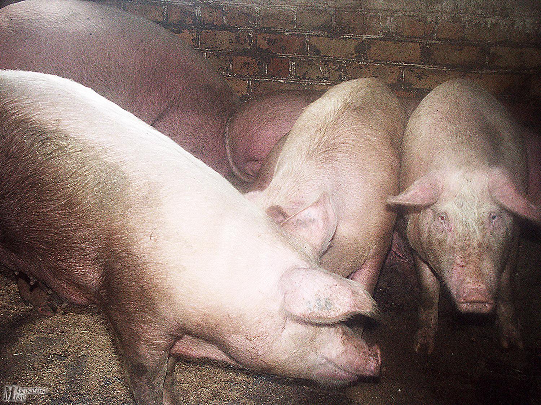 Dariaus Šypalio nuotr. Užtikrinant biologinę saugą, kiaulės negali būti laikomos lauke.